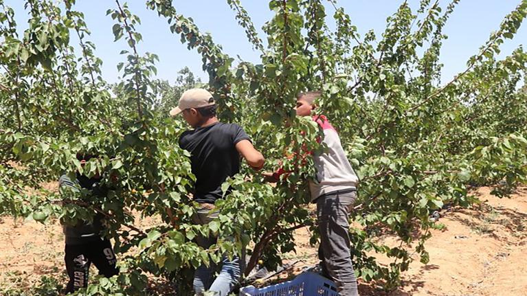 """Aile, Çalışma ve Sosyal Hizmetler Bakanlığı (AÇSHB) Çalışma Genel Müdürlüğü ile Uluslararası Çalışma Örgütü (ILO) Türkiye Ofisi işbirliğinde yürütülecek olan ve Avrupa Birliği (AB) kaynaklarıyla finanse edilen """"Mevsimlik Tarımda Çocuk İşçiliğinin Önlenmesi"""" projesine 2020 yılı Ekim ayında başlanmıştır."""