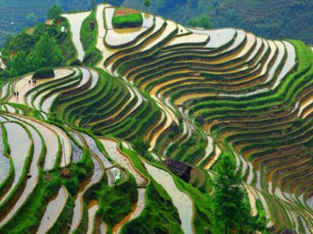 Çin'in bin yıllık pirinç taraçaları