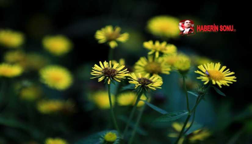 Beyaz Çiy (Bai Lu) Sezonu'na giriliyor..